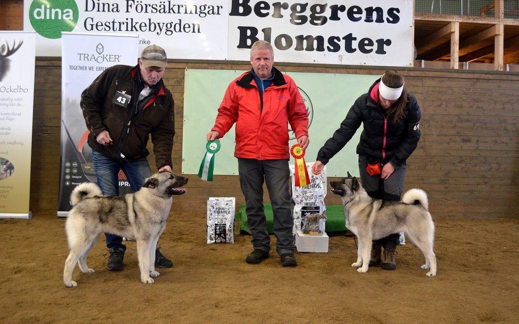 BIR & BIM Gävleborgs Älghundklubbs utst i Ockelbo 29/4
