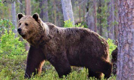 Björntest
