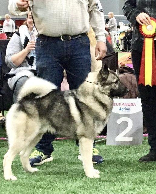 Ny champion: Anglo Skogs Gabbe SE11244/2017